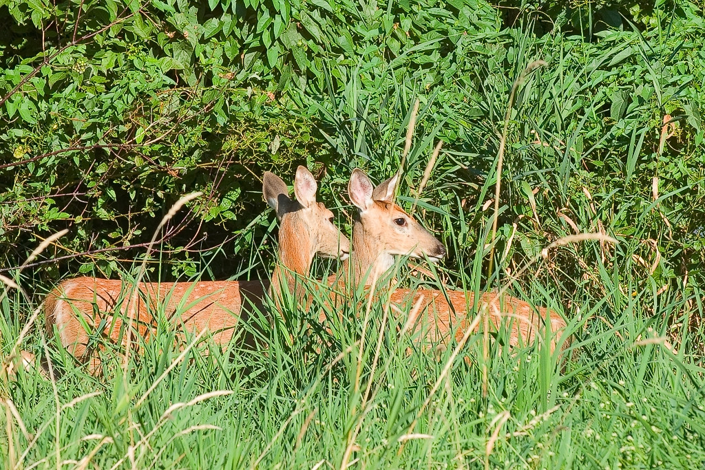 Two more deer (1_Plymouth_2005-08-30_0069)