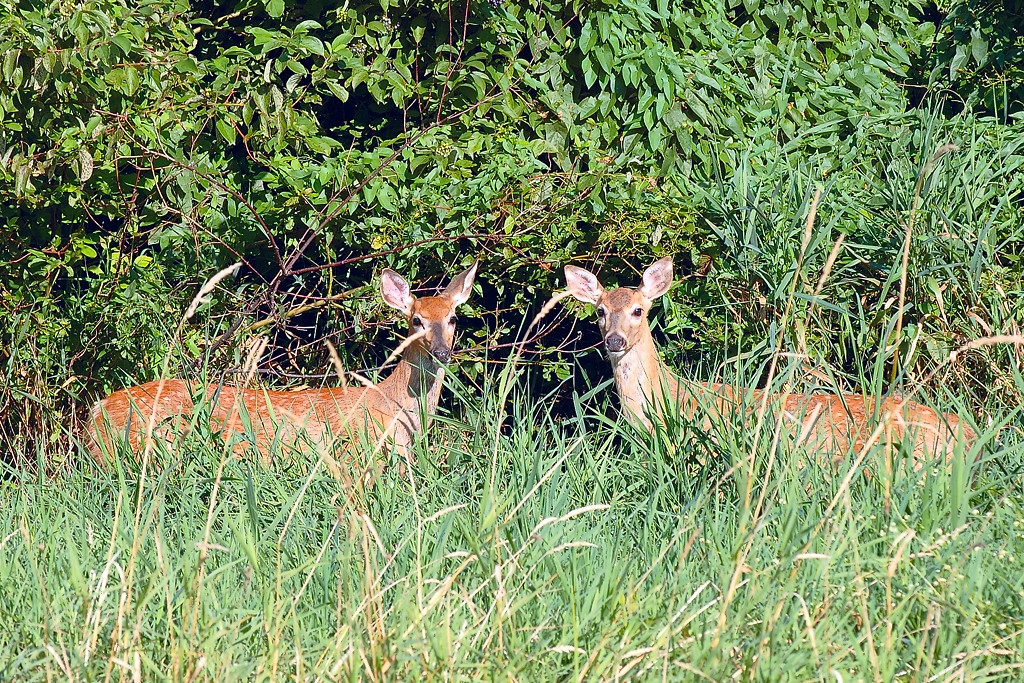 Two deer v2 (1_Plymouth_2005-08-30_0067)