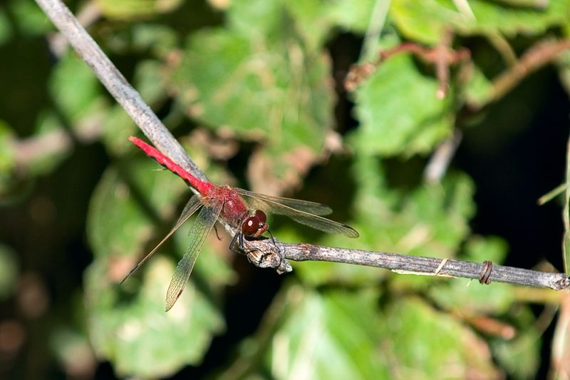 Red dragonfly (1_Plymouth_2005-09-01_0023)