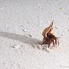 A hermit crab, with a very fancy shell, makes his way along the white sandy beach.