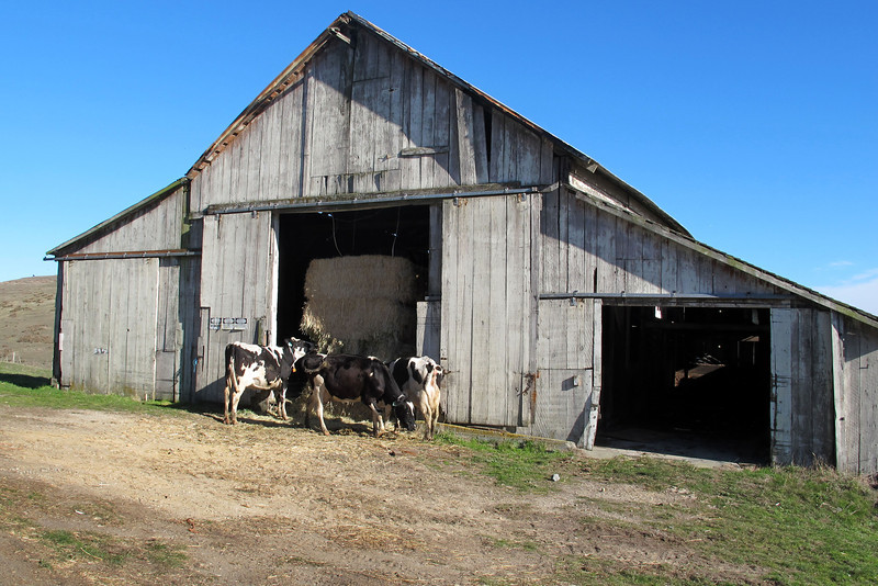 These cows decided to raid the hay barn instead of grazing in the field.