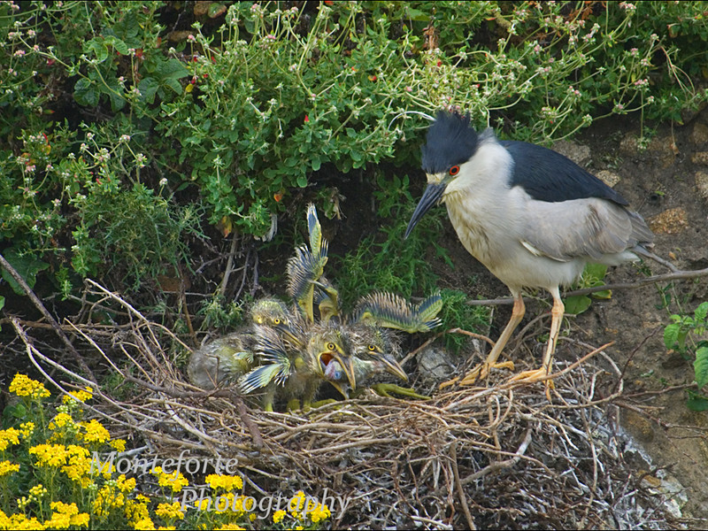 Black crowned Night Heron ( Nycticorax nycticorax ) on nest feeding chicks Point Lobos State Park California.