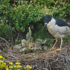 Black crowned Night Heron ( Nycticorax nycticorax ) on nest feeding chicks Point Lobos State Park California.