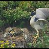 Black crowned Night Heron (Nycticorax nycticorax) feeding chick, Point Lobos State Park, California