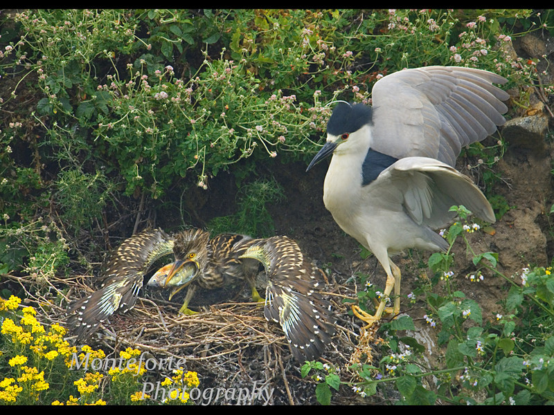 Black crowned Night Heron (Nycticorax nycticorax) feeding chick, Point Lobos State Park, California