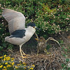 Black crowned Night Heron-Nycticorax nycticorax with Chick