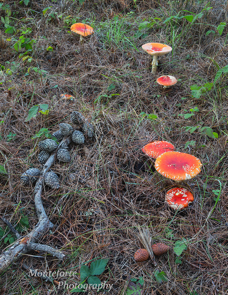 Amanita muscaria Point Lobos State Reserve.