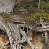 Part of the root system of the Old Veteran Tree at Point Lobos State Park.