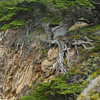 The Old Veteran, Point Lobos State Park, California