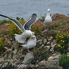 Gulls fighting on Bird island, Point Lobos State Reserve