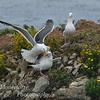 Gulls fighting on Bird island, Point Lobos State Reserve