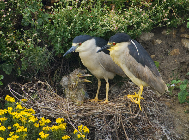 Black crowned Night Herons, Nycticorax nycticorax, with chick on nest, Point Lobos Nature Reserve, California