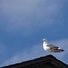 <h3>The Guard Gull.
