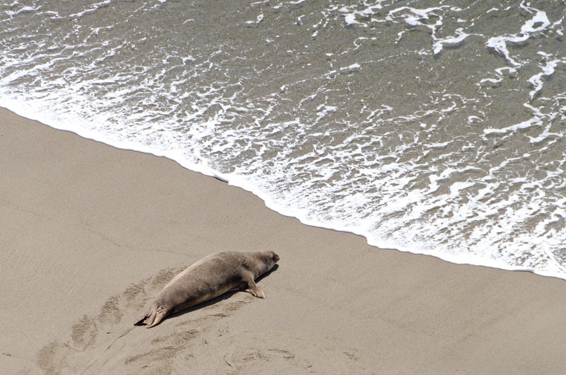 Elephant seal at Chimney Rock, Point Reyes, California