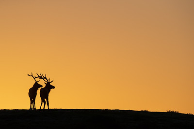 Tule Elk at Dawn