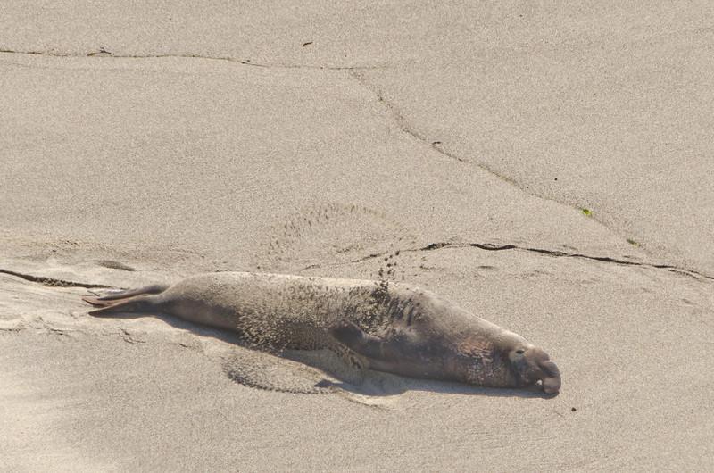 Elephant seal at Chimney Rock, Point Reyes, California