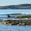 Morning swim among the rocks for this elephant seal at Drake's Beach.
