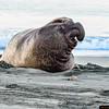 Elephant seal bull waking up from a night's sleep on Drake's Beach.