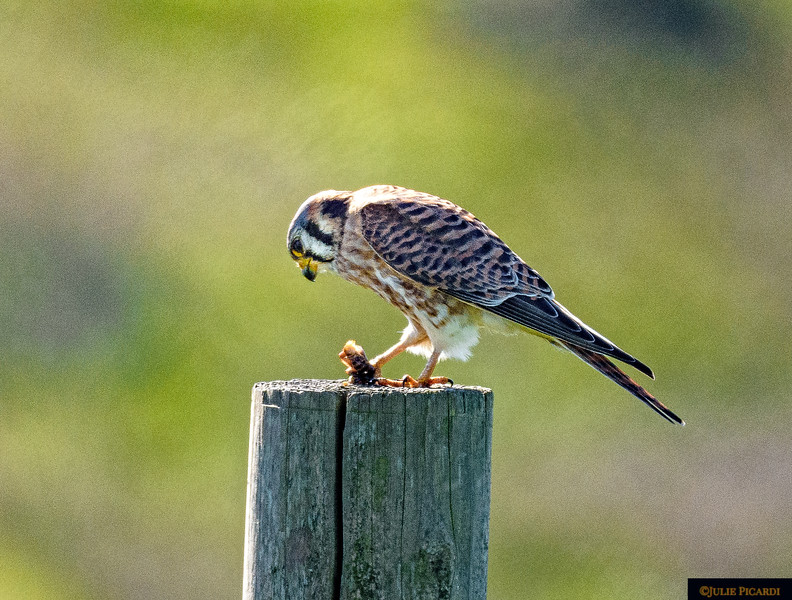 Successful hunt for this Kestrel in Point Reyes, CA.