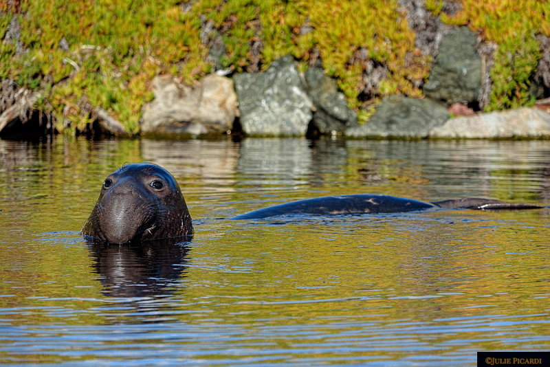 Young elephant seal emerges from the depths of the lagoon to see who might be watching.