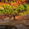 Bonsai Tree near Point Reyes Lighthouse