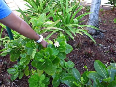 Gardenia brighamii, nānū