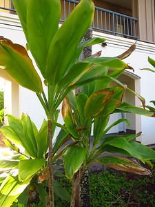 Lā'ī (ti plant, green)