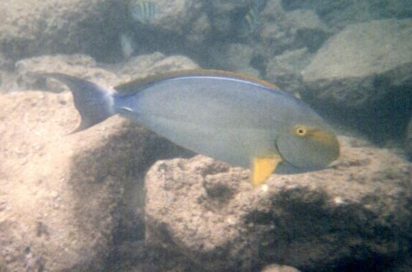 Eye-Stripe Surgeonfish