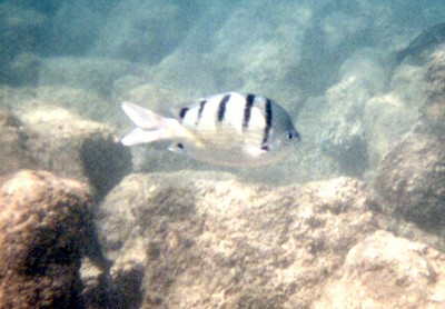 Stirped Damselfish