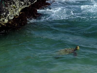 315 - Green Sea Turtle