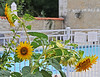 Sunflowers by the inviting pool. It got warm by the afternoon....