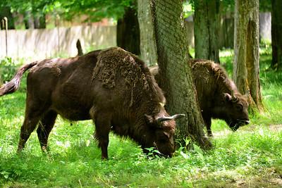 Białowieża Forest Reserve - bison