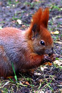Squirrel in the Łazienki-Park