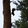 European Squirrel on a pine tree