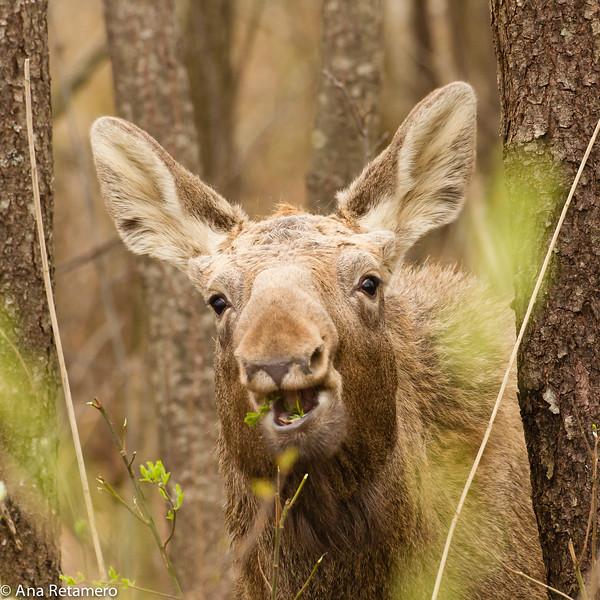 Elk (Alces alces)