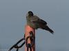 Grajilla (Corvus monedula) / Western jackdaw