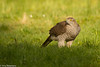 Northern goshawk (Accipiter gentilis)