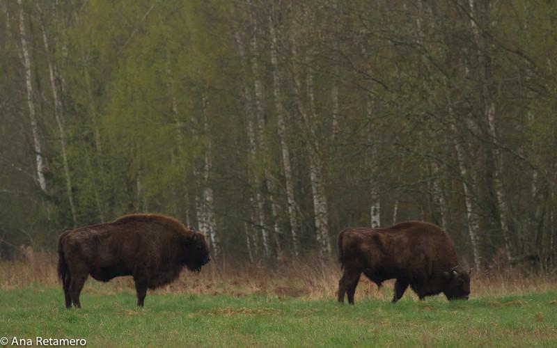 European bison n the Białowieża Forest (Bison bonasus)