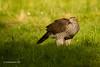 Azor  (Accipiter gentilis) /  Northern goshawk