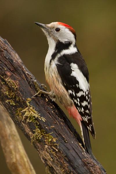 Pico mediano (Middle spotted woodpecker)/ Dendrocopus medius