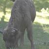 Poland Bison Reserve