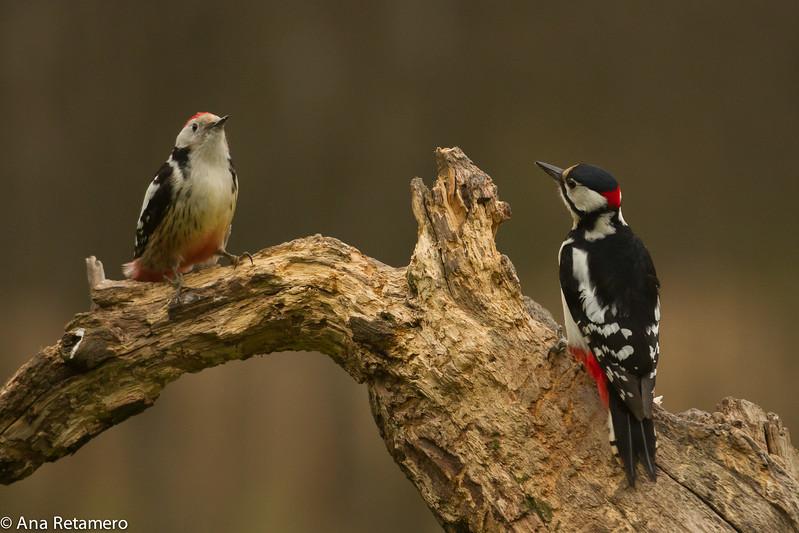 Pico mediano (Middle spotted woodpecker) y pico picapinos / Dendrocopus medius y D. Major