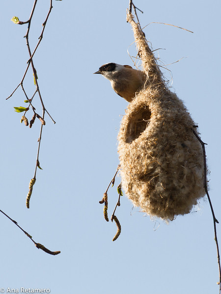 Pajaro moscón europeo (Remiz pendulinus)/ Penduline tit