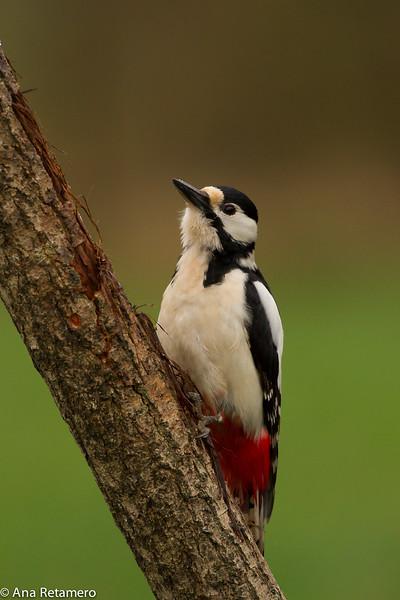 Pico picapinos (Dendrocopus major) Grat spotted woodpecker