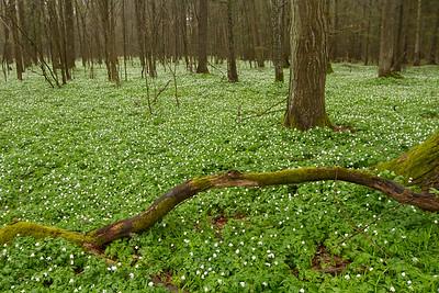 Bosque cubierto de Anemone nemorosa