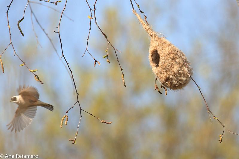 Pajaro moscón europeo (Remiz pendulinus) Penduline tit