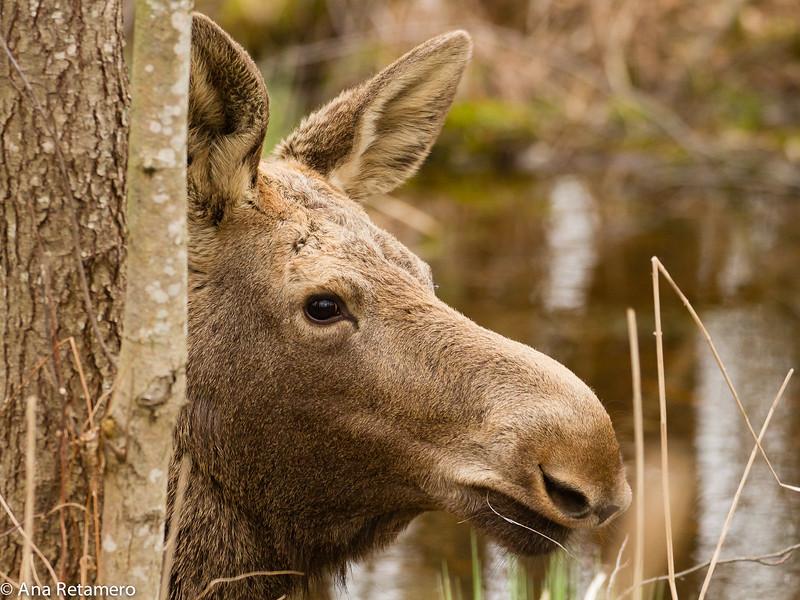 Alce/ Elk (Alces alces)