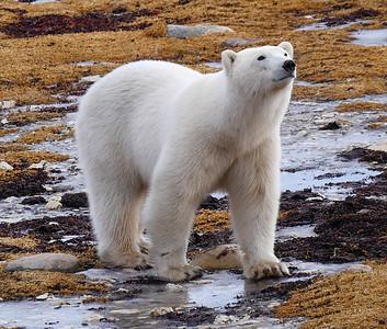 Polar Bears-2016