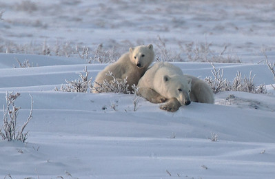 Polar Bear Mom with Cubs Sets Up Her Nap