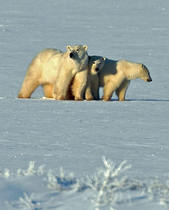 Mom and Cubs Worrying About a Nearby Male--who could kill the cubs